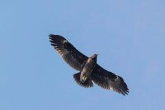 Större prickiga Eagle Arkivbilder