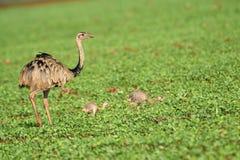Större Rhea Rhea americanus moder med två barn Arkivbilder
