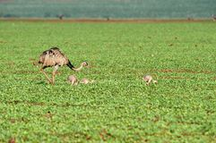 Större Rhea Rhea som är americanus med två fågelungar Royaltyfri Bild