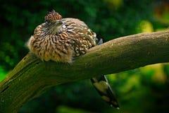 Större roadrunner, Geococcyxcalifornianus, fågelsammanträde på filialen, Mexiko Gök i naturlivsmiljön Djurlivplats från royaltyfri fotografi