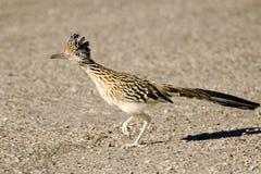 Större Roadrunnerfågelspring, Arizona, USA Arkivfoto