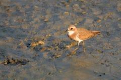 Större sandbrockfågelställning i aftonsolen royaltyfri fotografi