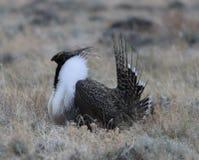 Större Vis man-skogshöns Centrocercusurophasianus på en Lek i SE Wyoming 2 Royaltyfri Fotografi