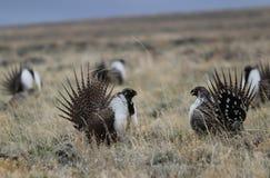 Större Vis man-skogshöns Centrocercusurophasianus på en Lek i SE Wyoming 9 Arkivfoto