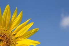Stück der Sonnenblume mit blauem Himmel Lizenzfreies Stockfoto