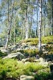 Stück der wilden Natur mit Busch, Steine und Birkennahaufnahme Lizenzfreie Stockfotos