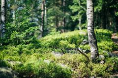 Stück der wilden Natur mit Busch, Steine und Birkennahaufnahme Stockfotos