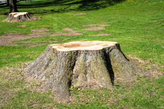 Stümpfe von den Bäumen gefällt Stockbild