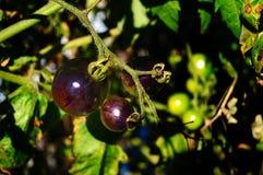 Stützbare Tomate, die in Süd-Florida bewirtschaftet lizenzfreies stockbild
