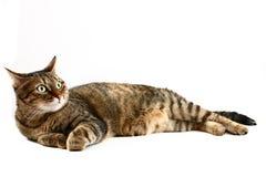 Stützende Katze auf Weiß Stockfotografie