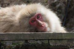 Stützender Schnee-Affe, der Kamera gegenüberstellt Stockfoto