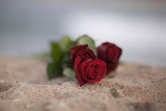 St Валентайн красных роз стоковая фотография rf