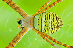 St. Andrew cross spider Stock Photo