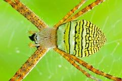 St. Andrew cross spider Stock Photo