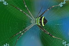 St. Andrew cross spider Royalty Free Stock Photos