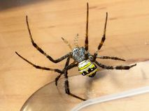 St Andrew cross spider. St Andrew cross spider in plastic lunch box Royalty Free Stock Image