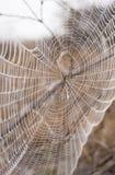 St Andrew Przecinający pająk na sieci zakrywającej w rosie Zdjęcie Stock