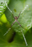 St andrew's cross spider Royalty Free Stock Images