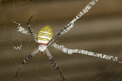 St. Andrew's Cross spider Stock Photo