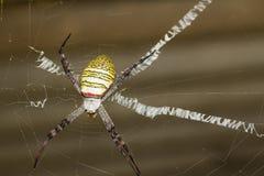 St. Andrew's Cross spider Stock Photo