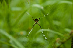 St Andrew's Cross Spider, Ecuador. Argiope, St Andrew's Cross Spider stock photos
