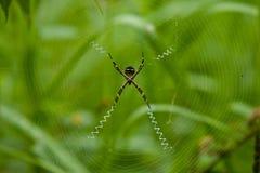 St Andrew's Cross Spider, Ecuador Stock Photos