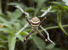 St Andrew's Cross Spider Royalty Free Stock Image