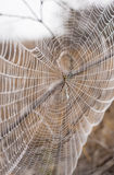 St Andrew's Cross spider on web covered in dew Stock Photo