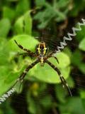 St. Andrews cross spider. St andrews cross spider backyard macro royalty free stock photo