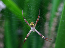 St Andrews Cross Spider Stock Image
