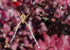 St Andrews Cross Spider over a purple back ground. A St Andrews cross orb weaver spider in its web over a background of purple leaved shrubs stock photos