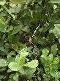 St. Andrews cross spider. St Andrews cross spider stock photo