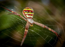 St andrews spider Royalty Free Stock Photos
