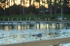 Panama City Beach St Andrews State Park sea gull sunset stock photography
