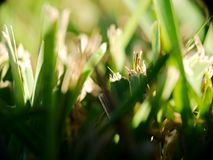 St Augustine Grass Fresh Cut. Fresh cut St Augustine Grass in south Texas Royalty Free Stock Image
