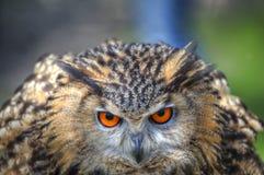 stäng övre för europeisk owl för örn superb royaltyfri bild