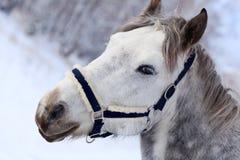 stäng upp grå head häst s Arkivbild