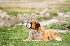 St Bernard или собака St Bernard сидят внешнее в зеленом луге весны Стоковое фото RF