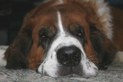 St Bernard Royalty Free Stock Photo