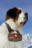 St Bernard Royalty Free Stock Photos