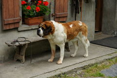 St. Bernard Stock Photos