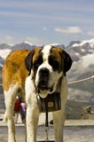 St. Bernard. Rescue dog in front of snowy Swiss mountains Royalty Free Stock Photo