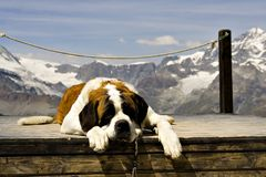 St. Bernard. Rescue dog in front of snowy Swiss mountains Stock Image