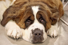 St. Bernard Stock Photography