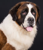 St Bernard Fotos de Stock Royalty Free