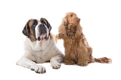 St Bernard and Cocker Spaniel  Stock Images