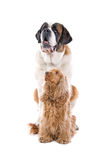 St. Bernard and Cocker Spaniel Royalty Free Stock Image