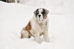 St Bernard dans la neige Photo stock