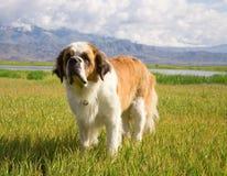 St. Bernard dog. Is on the alpine meadow Royalty Free Stock Photo
