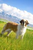 St. Bernard dog. Is on the alpine meadow Stock Image